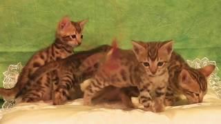 Питомник бенгальских кошек в Киеве Украине
