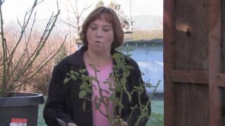 Gardening Tips : How to Prune Roses