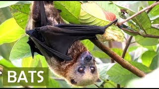 BATS! About Fruit Bats for Kids - FACTS ABOUT BATS