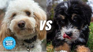 Goldendoodle vs  Bernedoodle Dog Breed Information | Dogs 101