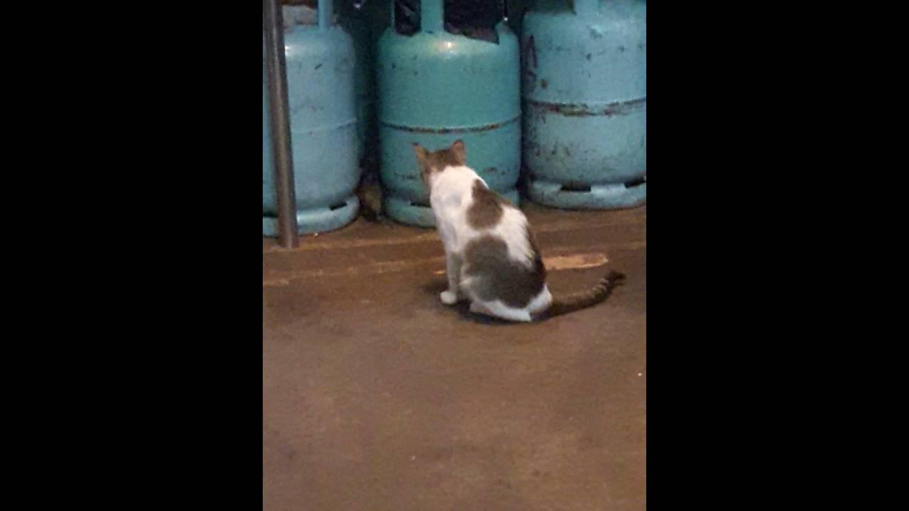 Tikus Raksasa Kucing Pun Takut Dengannya V Wkwkwk Download
