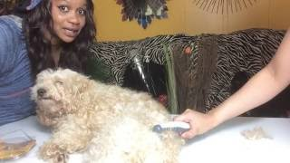 Knot out Electric pet grooming comb , Experiment and review on my POODLE with huge big hair