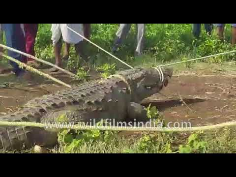 Containing the beast - Crocodile in Bagalkot
