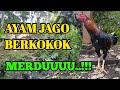 Suara Ayam Berkokok Pagi Hari  Mp3 - Mp4 Download