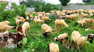 Animals Video for Children   Farm Animals for kids   Animals sound   Goat and Sheep