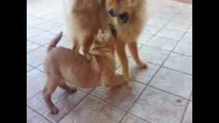 Chow Chow Vs Sharpei