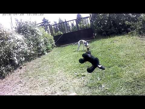Whippet dog/perro
