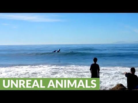 Wild Dolphins Casually Swim Alongside Beach Goers