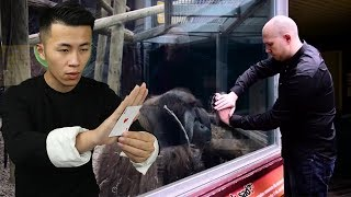 魔術揭秘:在黑猩猩面前,空手將牌隔空變入玻璃中(magic revelation)