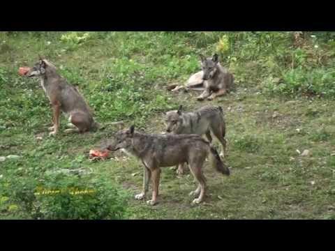 Parco Nazionale D'Abruzzo: la bellezza dei lupi
