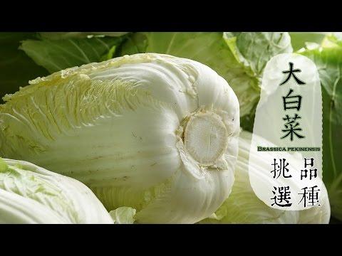 【冬】大白菜如何挑選才好吃?
