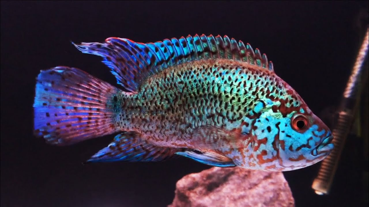 EBJD : Electric Blue Jack Dempsey Cichlid - YouTube