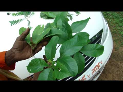 Forest Herbs for Blocked or clogged milk ducts- Pankaj Oudhia