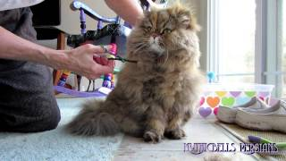13 03 21 Persian kitty, Gypsy Rose, gets a tune up