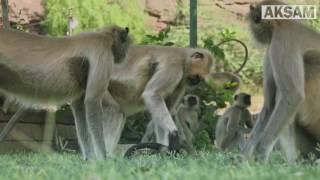 Öldüğünü Zannettikleri Oyuncak Maymun Için Böyle Yas Tuttular