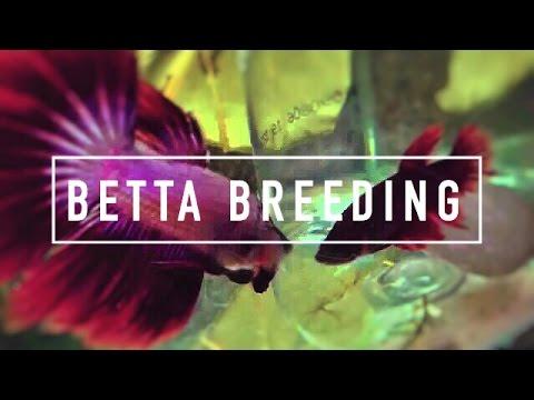 BETTA BREEDING AQUARIUM | The Tank Setup