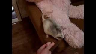 Крыса выполняет команды! Умный крысенок.