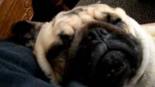 my pug snoring very loud!