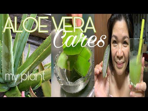 How to Clean Fresh Aloe Vera for my skin care and Aloe Vera Juice