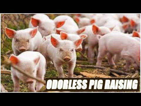 Odorless Pig Raising