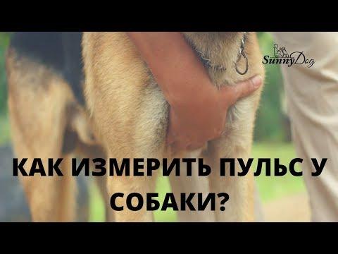 Вопрос: С какой частотой бьется сердце у собаки Какой пульс у собаки?