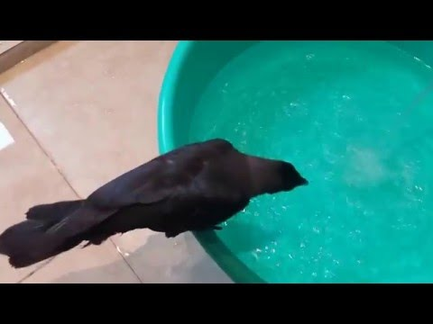 Naughty pet crow eating tissues