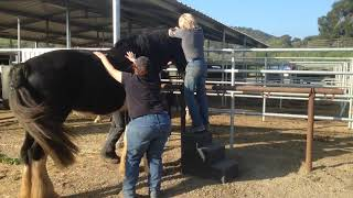 16+ hand Draft Horse gets a chiropractic adjustment
