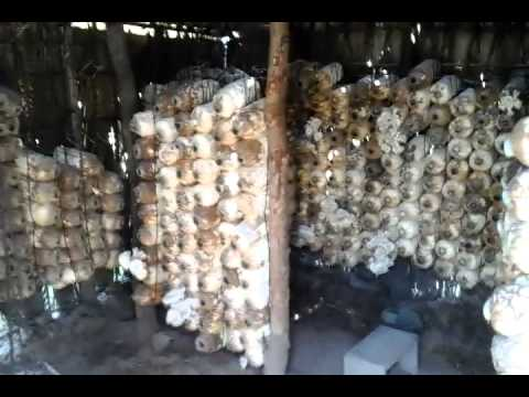 Mushroom Growing Video |  Planting  Strewing Mushroom