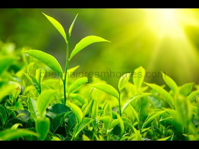 Tea Garden Plot for Resale in Ooty at Rs. 7.5 Lakhs only - Call: +91-9840951001/003!