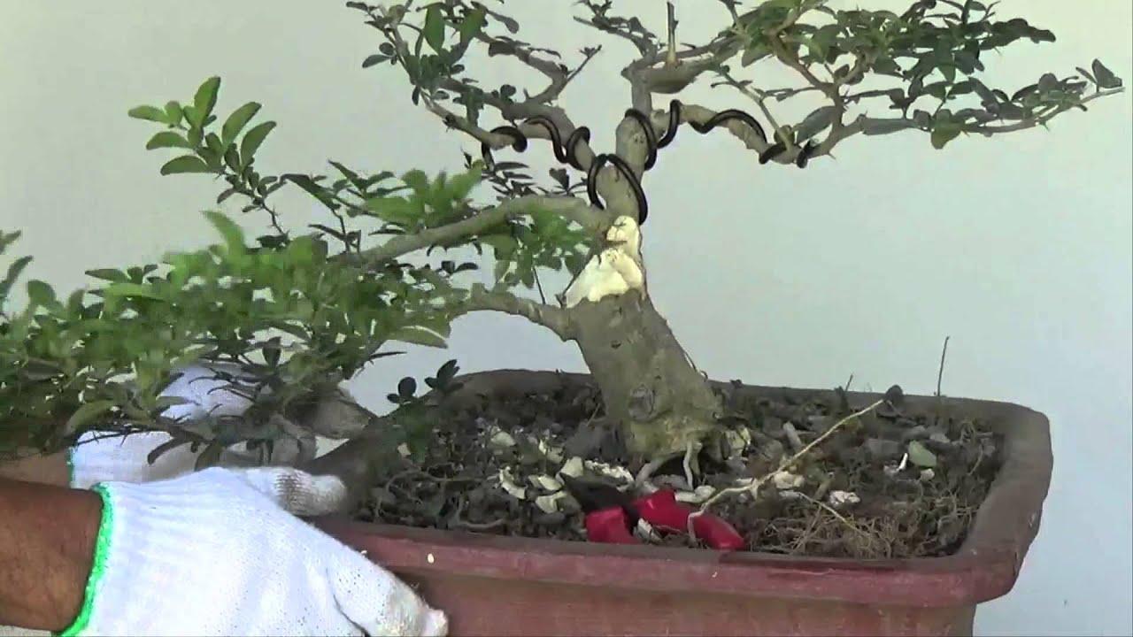 bonsai tutorials for beginners how to make bonsai trunk look fatter rh youtube com Bonsai Wire Sizes Bonsai Trimming Techniques