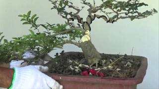 Bonsai Tutorials for Beginners: How to Make Bonsai Trunk Look Fatter