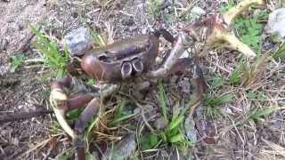 (毒蟹)陸ガニ☆ロンボク島(インドネシア)