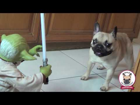 FRENCH BULLDOG VS YODA - Frenchie Dog Apple & Pug Chihuahua Gus Chug fight Legendary Star Wars Jedi
