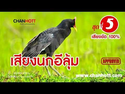 ធ្នាក់ខ្លុម เสียงนกอีลุ้ม นกตูม ชุดที่ 5 Watercock sound mp3