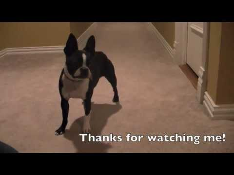 The Smartest Dog: Marli the Boston Terrier