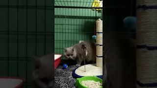 My boy british shorthair cat