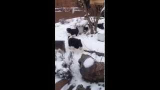Stredoázijský ovčiak-CENTRAL ASIAN SHEPHERD DOG