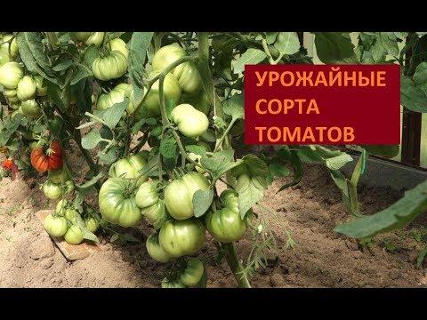 ЛУЧШИЕ УРОЖАЙНЫЕ СОРТА ТОМАТОВ 2017 ОБЗОР ТЕПЛИЦЫ (31.07.2017) | урожайныесортатоматов | лучшиесортатоматов | каквыраститьтоматы | высокорослыетоматы | томатывтеплице | мясистыетоматы | хорошиетоматы | поли