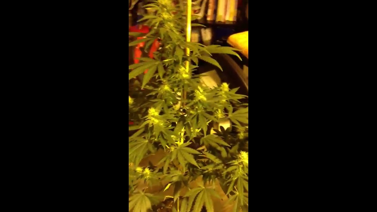 To trim or not to trim your flowering cannabis plant youtube to trim or not to trim your flowering cannabis plant mightylinksfo