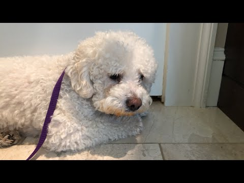 Grooming a Sweet, but Fearful / Aggressive Bichon Frise