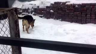Собака лает на снег/Crazy dog is barking at snow! Watch from 0:24