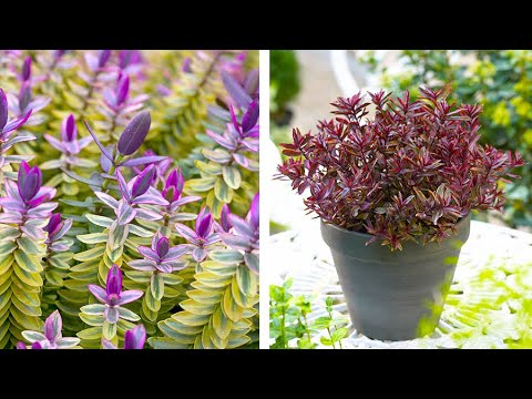 How to grow Hebe: Jeff Turner plants Hebe in pots for the patio