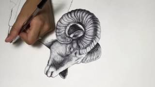 Bighorn sheep drawing timelapse
