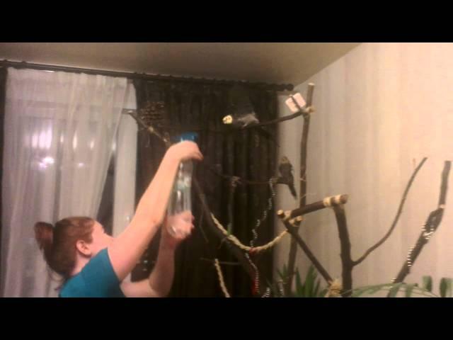 Купание попугаев. Водные процедуры на дереве