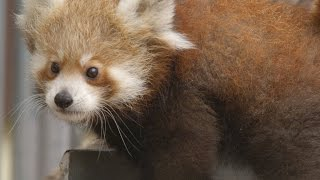 How Do Red Pandas Play?