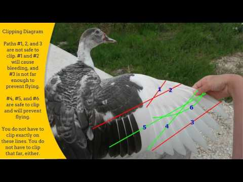 Raising Ducks – The Ultimate Guide • New Life On A Homestead