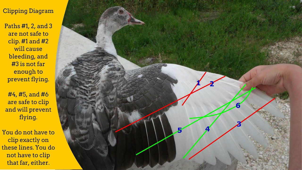 clipping duck wings diagram basic human digestive system the complete how to guide a 39s wing