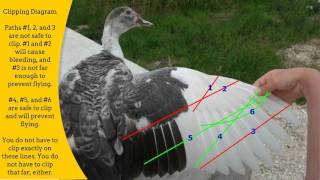 The Complete How-To Guide to Clipping a Duck