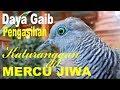 Perkutut Katuranggan Mercu Jiwa Canel Kalam Wadi  Mp3 - Mp4 Download