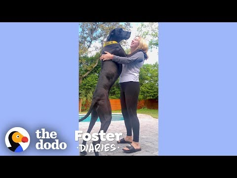 Woman With A House Full Of Dogs Fosters Two Adorable Great Danes   The Dodo Foster Diaries